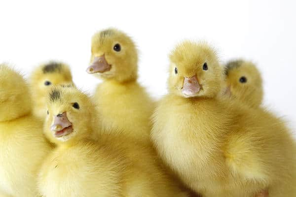 Le foie gras - 7 alternatives vegan 3
