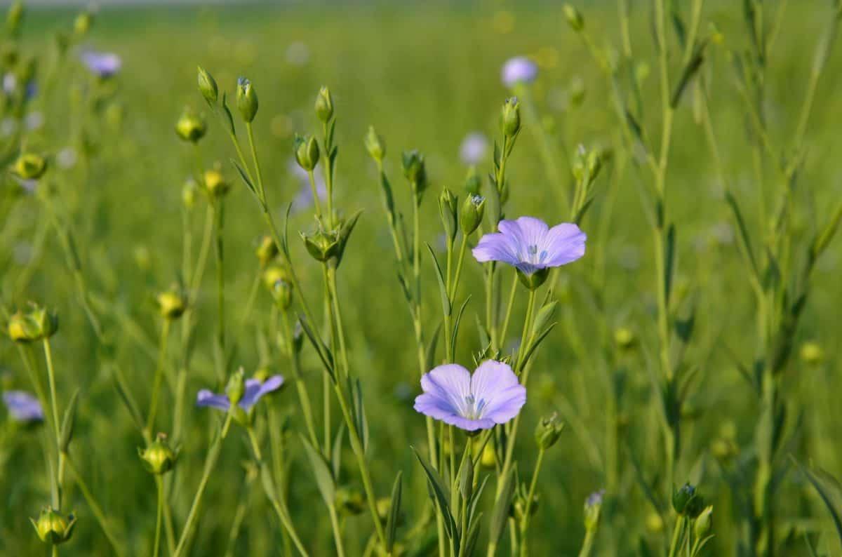 Fleurs-de-lin-photo-par-xuechao-zhu