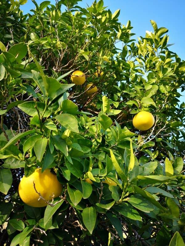 Citrons et oranges de Provence